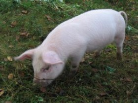 Could this little piggy be the cure?